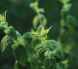 herb_spearmint